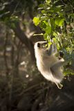 Let me jump, i want to Enjoy. This is some species of wildlife Monkeys, they`re identified with their tiny tail Stock Images