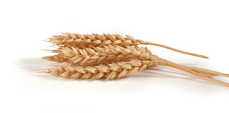 Some spikelets of wheat Royalty Free Stock Photography