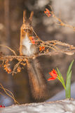 Some spring feeling. Red squirrel standing on branch with ice and snow with beneath a tulip Royalty Free Stock Photo