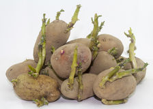 Some sprouted potatoes. On white background royalty free stock photos
