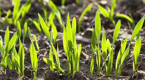Wheat sprouts. Some sprouts of wheat in a spring season. small depth of sharpness. the sun shines behind wheat sprouts Royalty Free Stock Photography