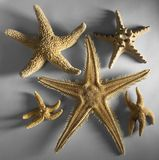 Some starfishes. Arrangement with various starfishes in grey back Stock Photography