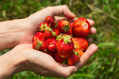 Some strawberries in hand on the blurry background. Handful of freshly ripe strawberries in a female hand on a blurred green background. Image with selective stock image