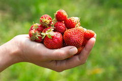 Some strawberries in hand on blurry background. Handful of freshly ripe strawberries in a female hand on a blurred green background. Image with selective focus royalty free stock images