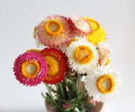 Some strawflowers. With different colors Royalty Free Stock Photography