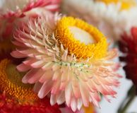 Some strawflowers in a garden. With different colors Royalty Free Stock Images