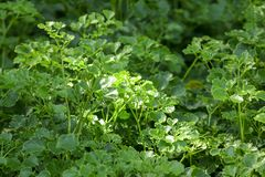 Some sunlight shines on green leaves. Sunlight shines off some of the dense green foliage in the garden royalty free stock images