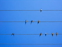 Some swallows friends enjoying a beautiful sunny day. These birds are watching the clear and bright blue sky Royalty Free Stock Photo