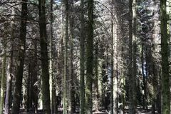 Some pine-wood in a forest. Some tall pine-wood in a forest Stock Images