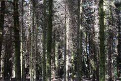 Some pine-wood in a forest. Some tall pine-wood in a forest Royalty Free Stock Images