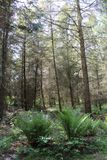 Some pine-wood in a forest. Some tall pine-wood in a forest Royalty Free Stock Photos