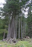 Some tall pine-wood in a forest Royalty Free Stock Photo