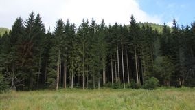 Some tall pine-wood in a forest Stock Photo