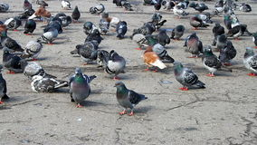 Some tame pigeons those who resting on a park stock video