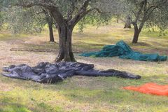 Tarpaulins on the grass during the harvesting of olives Stock Photography
