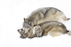 Some Timber wolves Canis lupus playing in the winter snow. Timber wolves Canis lupus playing in the winter snow Royalty Free Stock Photo