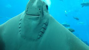Sting Ray. Wish to have a chat - Underside of Stingray stock image