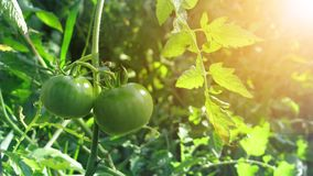 Gardening tomato. Ripe tomatoes hanging in the garden. Some tomatoes that are not ripe yet hanging on the vine of a tomato plant in the garden Royalty Free Stock Images