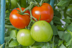Some tomatoes(Solanum lycopersicum). Some mature tomatoes with some green tomatoes Stock Images