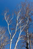 Some tree of birch on blue sky background.  Royalty Free Stock Photography