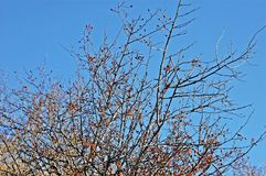 Some tree branches with little red fruits. Over a vivid blue sky stock photos