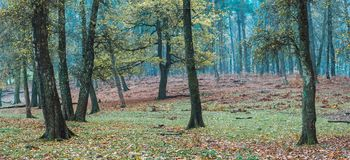 Some trees with autumn leaves in a forest. Some trees with autumn leaves in forest. North Rhine-Westphalia, Germany royalty free stock images