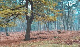 Some trees with autumn leaves in a forest. Some trees with autumn leaves in forest. North Rhine-Westphalia, Germany royalty free stock photos