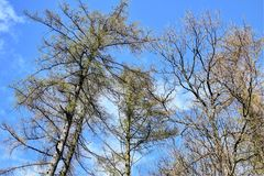 Some trees and lovely blue sky. Lovely forest walk one day in the spring Stock Image