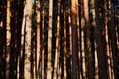 Some trees in the shadows. Of the forest stock photography