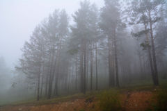 Some trees surrounded by fog at sunrise. Pine trees in mysterious misty fog stock photos