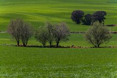 Cereal field and holm oaks stock image