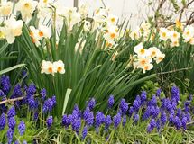 Some trees Yellow in back white daffodil flowers with grape hyacinths. Some trees in back White and yellow daffodil flowers with grape hyacinths flowers in front Royalty Free Stock Image