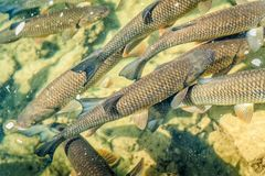 Some Trouts in a Pond. Trouts swimming around in a fish pond royalty free stock photo