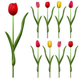 Some tulips Royalty Free Stock Image