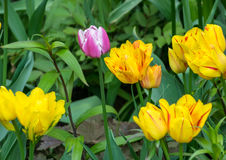 Some tulips. Yellow tulips on the meadow Stock Image