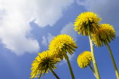 Some typical dandelion flowers. An image of some typical dandelion flowers Stock Photography