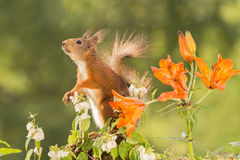 Some is up there. Close up of  a red squirrel with orange lily flowers looking up Royalty Free Stock Photos