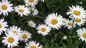 Some various colourful flowers stock video footage