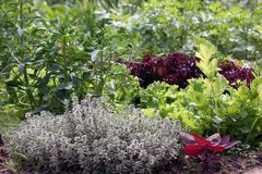 Vegetable flowerbed with mixed crops Stock Photo