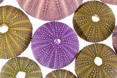 Some violet and green seashells of sea urchin isolated on white background. Some seashells of sea urchin isolated on white background stock photography
