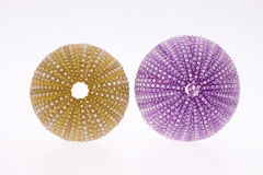 Some violet and green sseashell of sea urchin isolated on white background Royalty Free Stock Photo