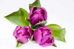 Some violet spring flower tulips isolated on white background. Close up Stock Images