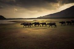 Water buffaloes walking along a lakeside Stock Image