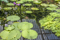 Some water plants at the Kew Gardens, London. This image shows a pond and some green leaves in it and around it. It was taken at the Kew Gardens in London on a Stock Image