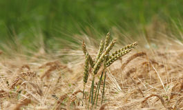 Some wheat ears in a barley field. Green background stock image