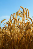 Some wheat ears with blue sky Stock Images