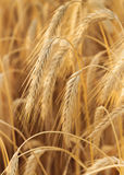 Some wheat ears vertical composition. Some wheat ears in a vertical composition Royalty Free Stock Photos