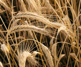 Some wheat golden ears. With sunbathing Royalty Free Stock Photography