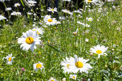 Some white chamomiles in Alpine meadows Stock Image