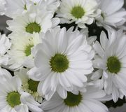 Some white Chrysanthemum Royalty Free Stock Photography